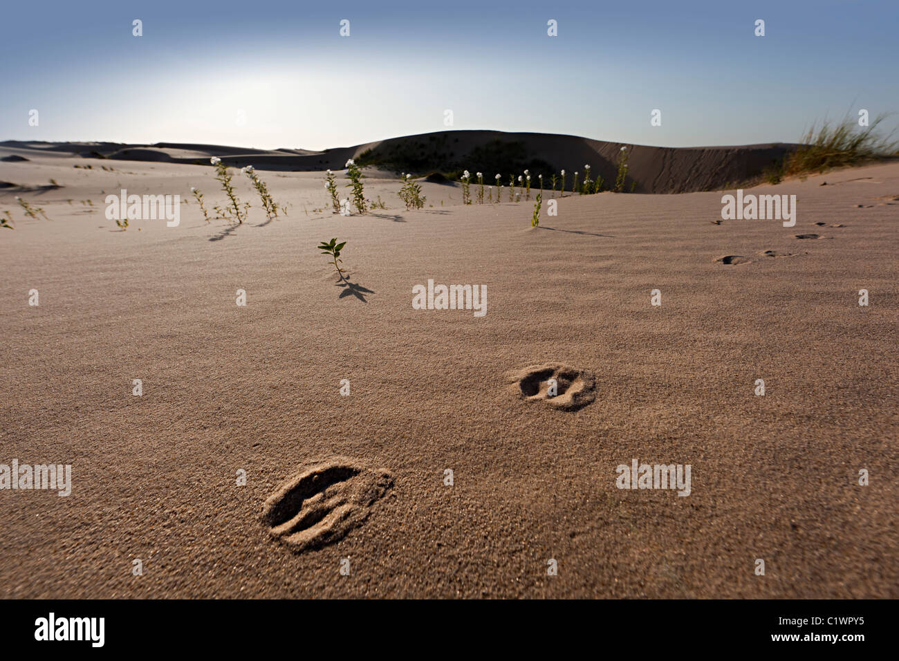 Deer tracks in sand dunes Monahans Sand Hills State Park Texas USA - Stock Image