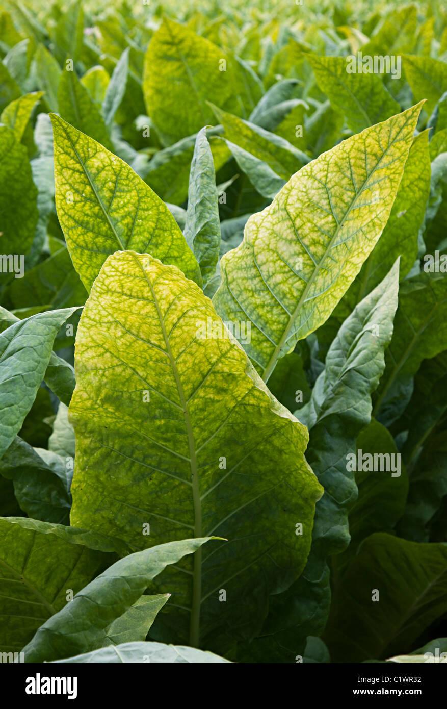 Tobacco crop Beynac-et-Cazenac Dordogne France - Stock Image