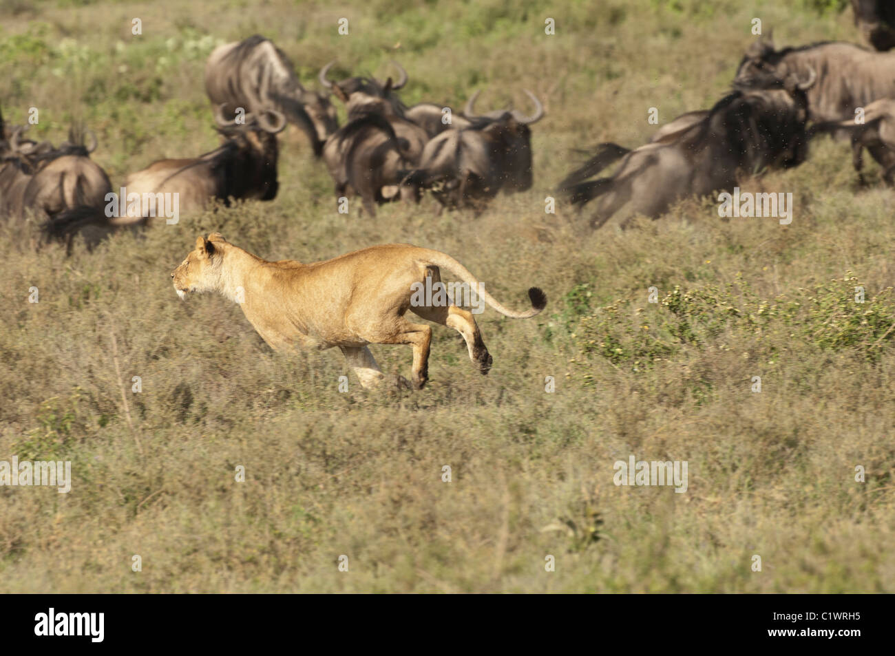 Stock photo of a lioness chasing a group of wildebeest. Stock Photo