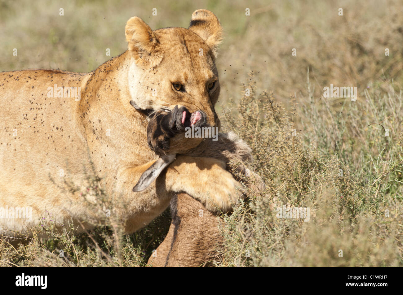 Stock photo of a lioness with a baby wildebeest kill. - Stock Image