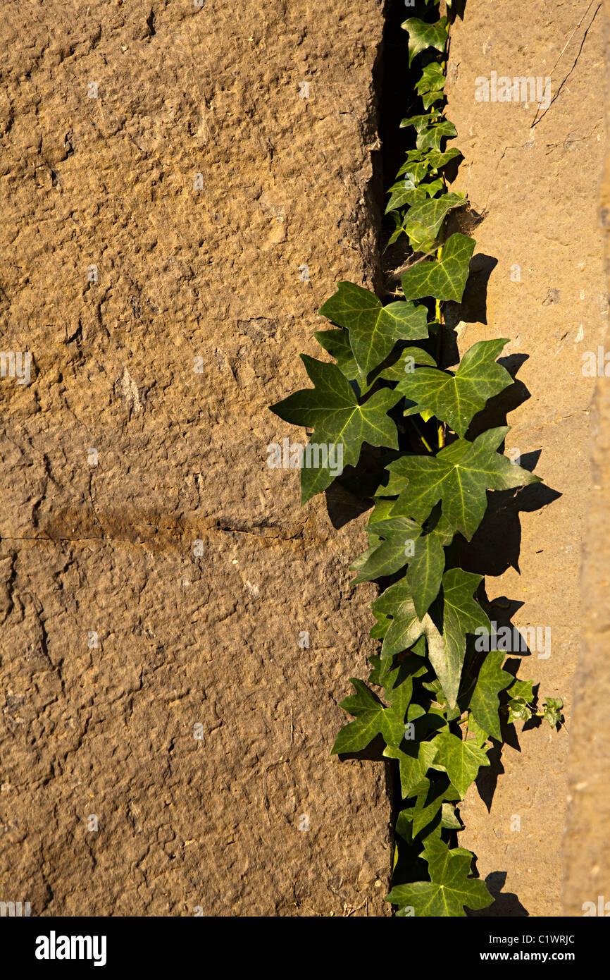 Ivy growing in crack in columnar basalt Sant Joan les Fonts Garrotxa Catalunya Spain - Stock Image
