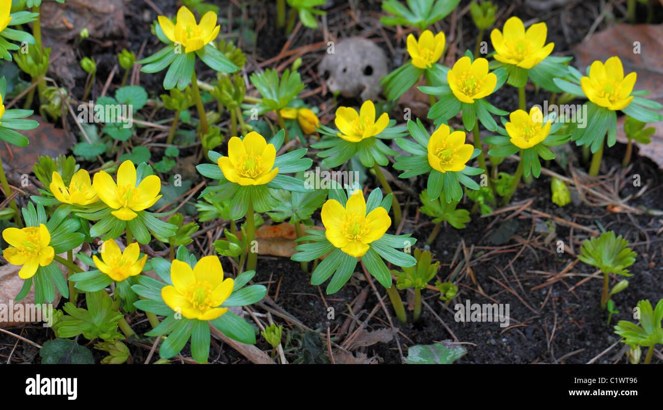 Winter Aconite Aconites Yellow Flower Flowers Blooming Eranthis
