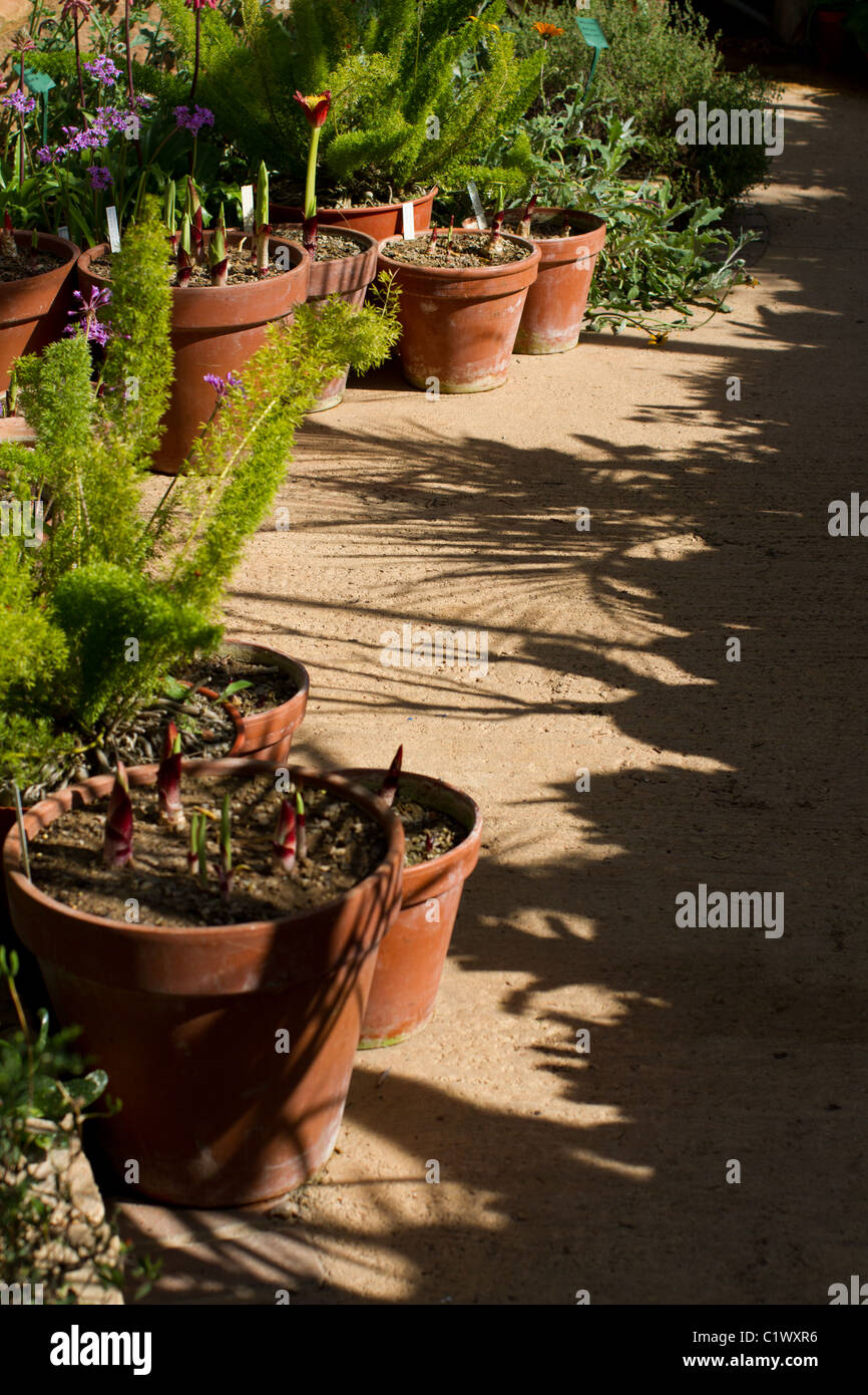 Greenhouse with pot plants and plant shadows - Stock Image