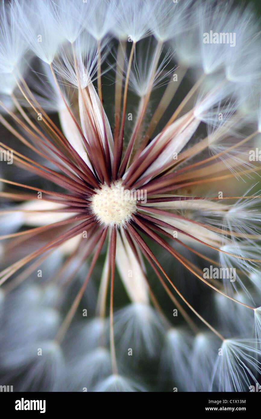 Closeup shot of a beautiful dandelion flower. Stock Photo