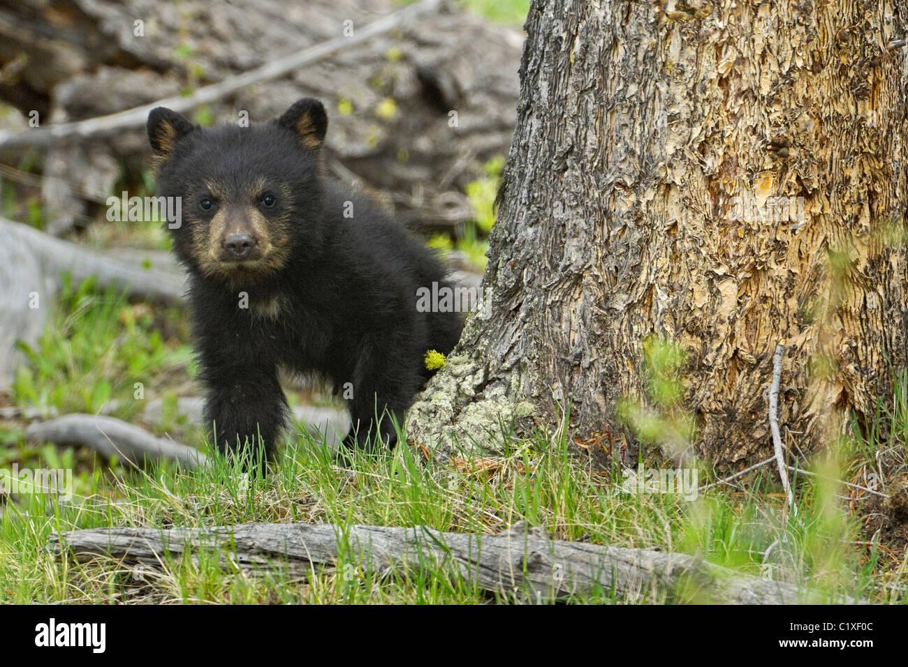 Baby black bear - Stock Image