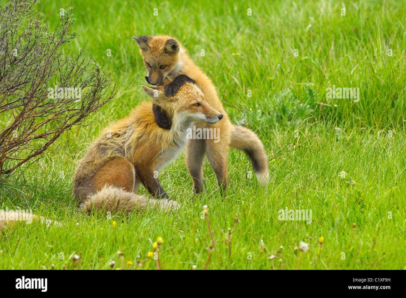 Baby red fox playfully attacks mother fox - Stock Image