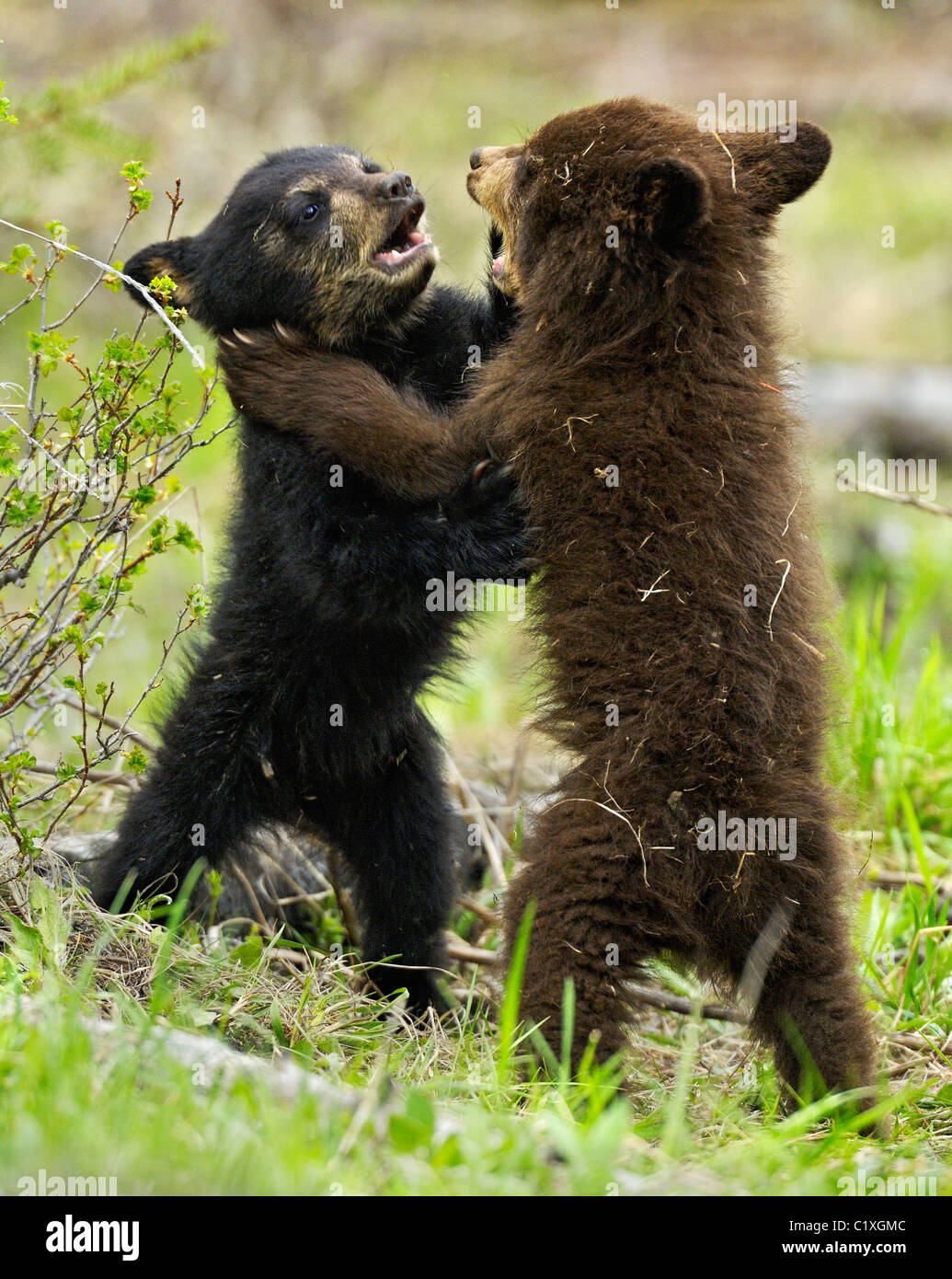 Black and Cinnamon Bear Cubs wrestling. Stock Photo