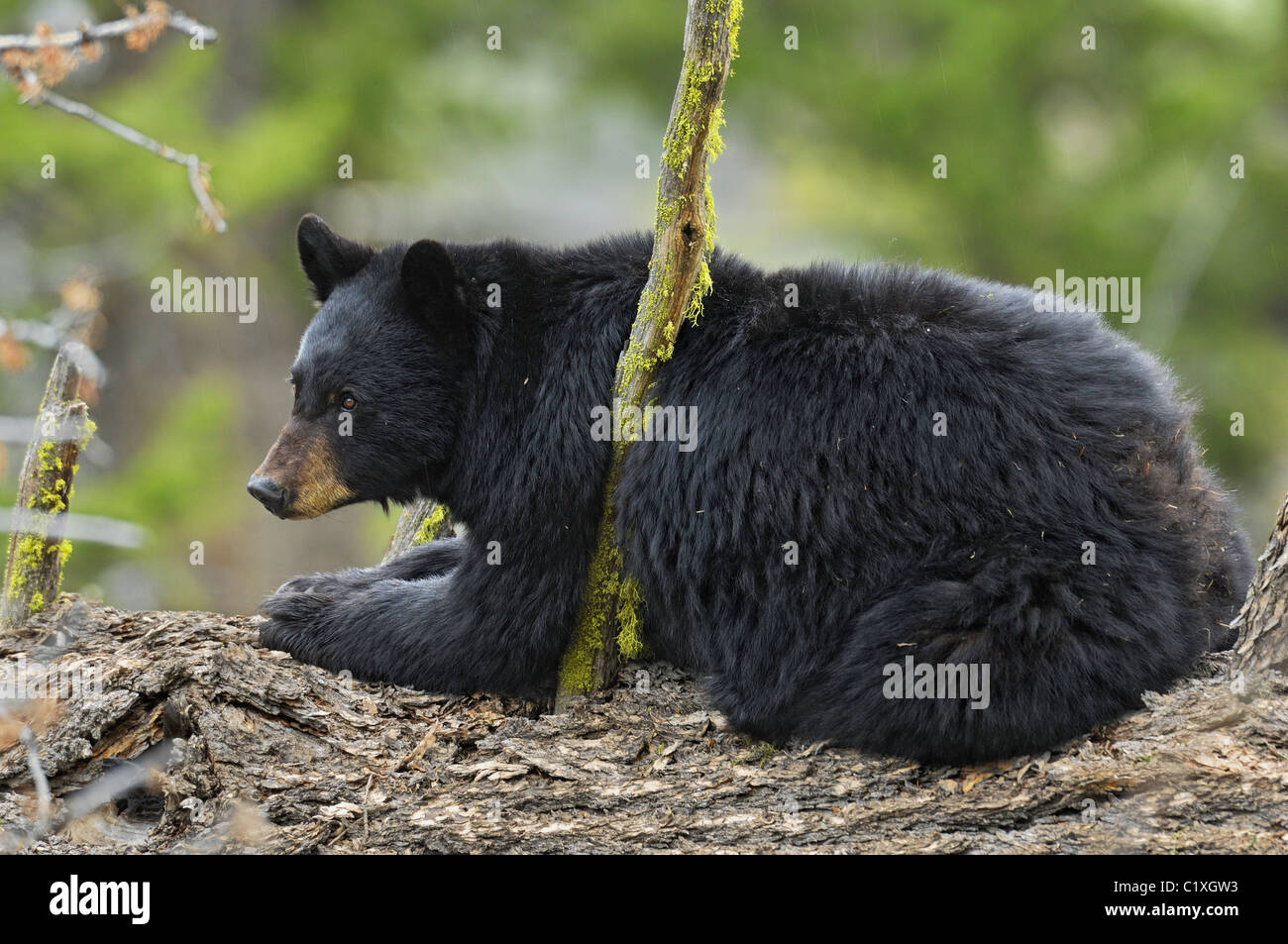 Black Bear on old growth tree. - Stock Image