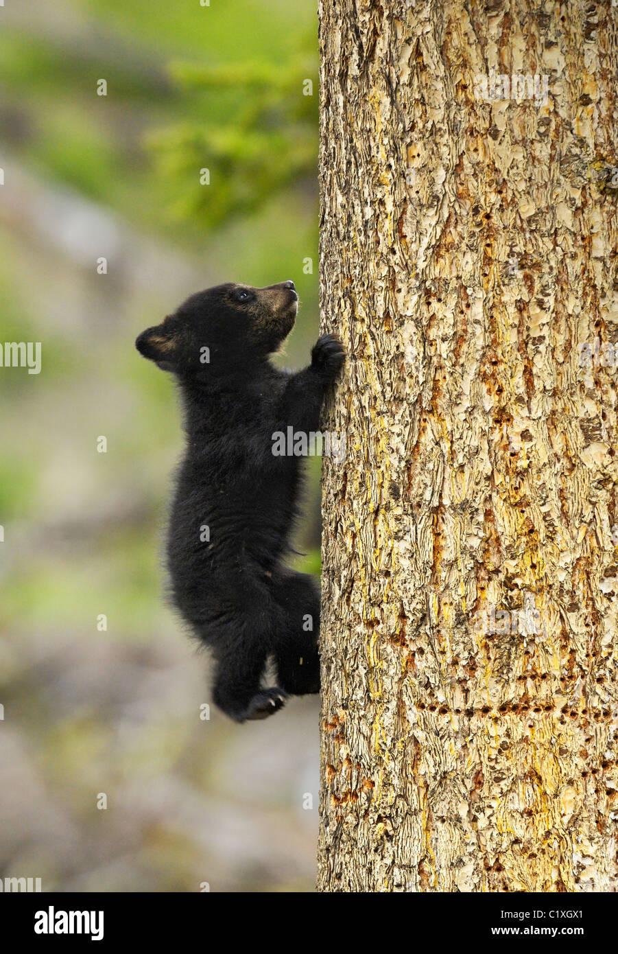 Baby black bear climbing a tree - Stock Image