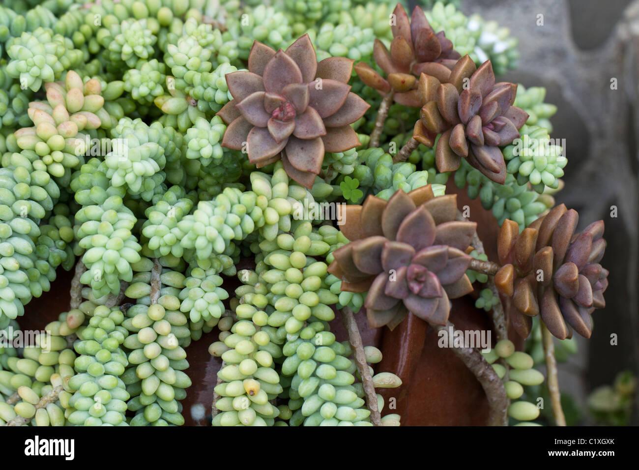 Sedum Burro Tail Stock Photos & Sedum Burro Tail Stock