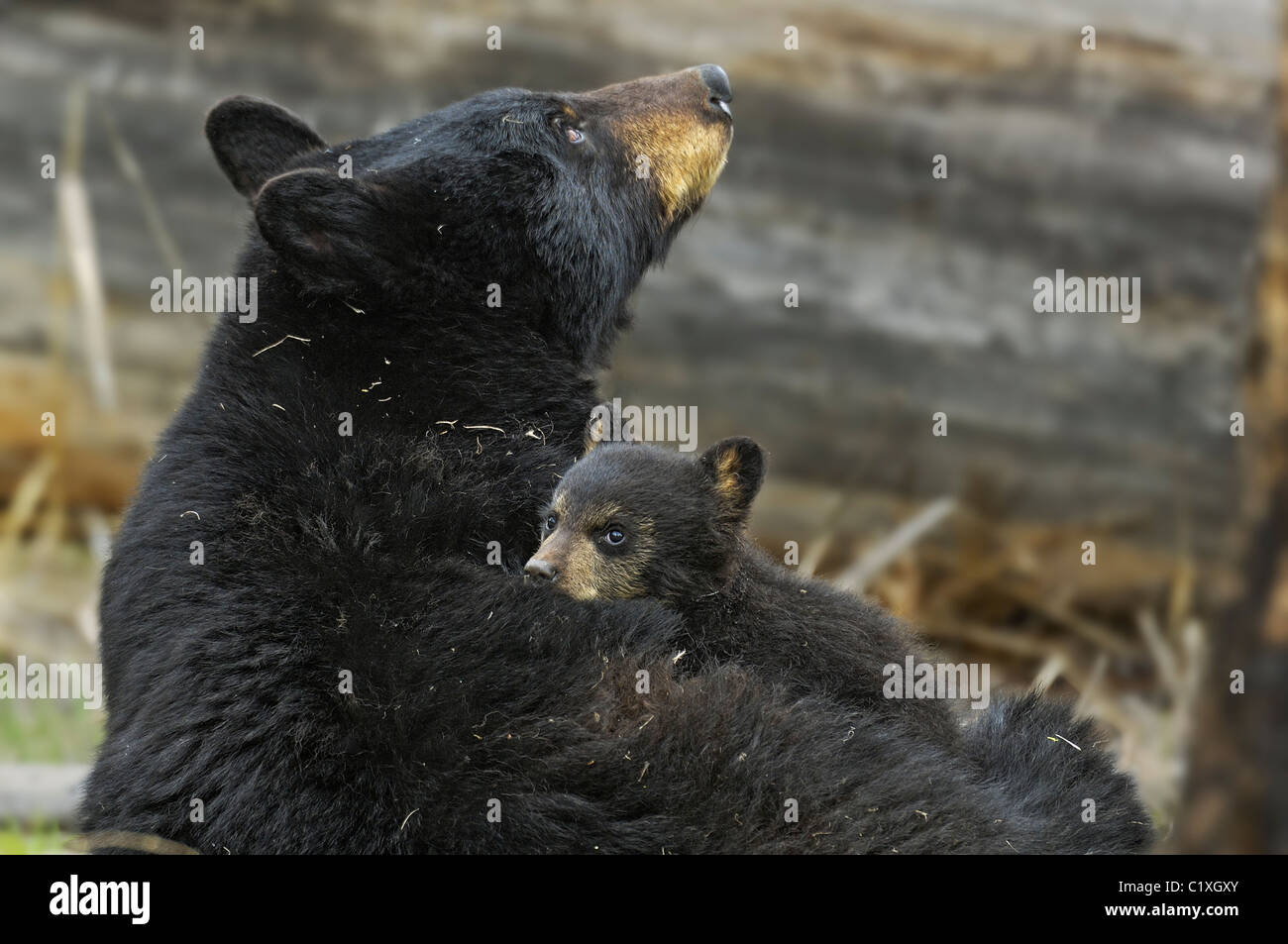 A black bear cub uses its mother as a bed - Stock Image