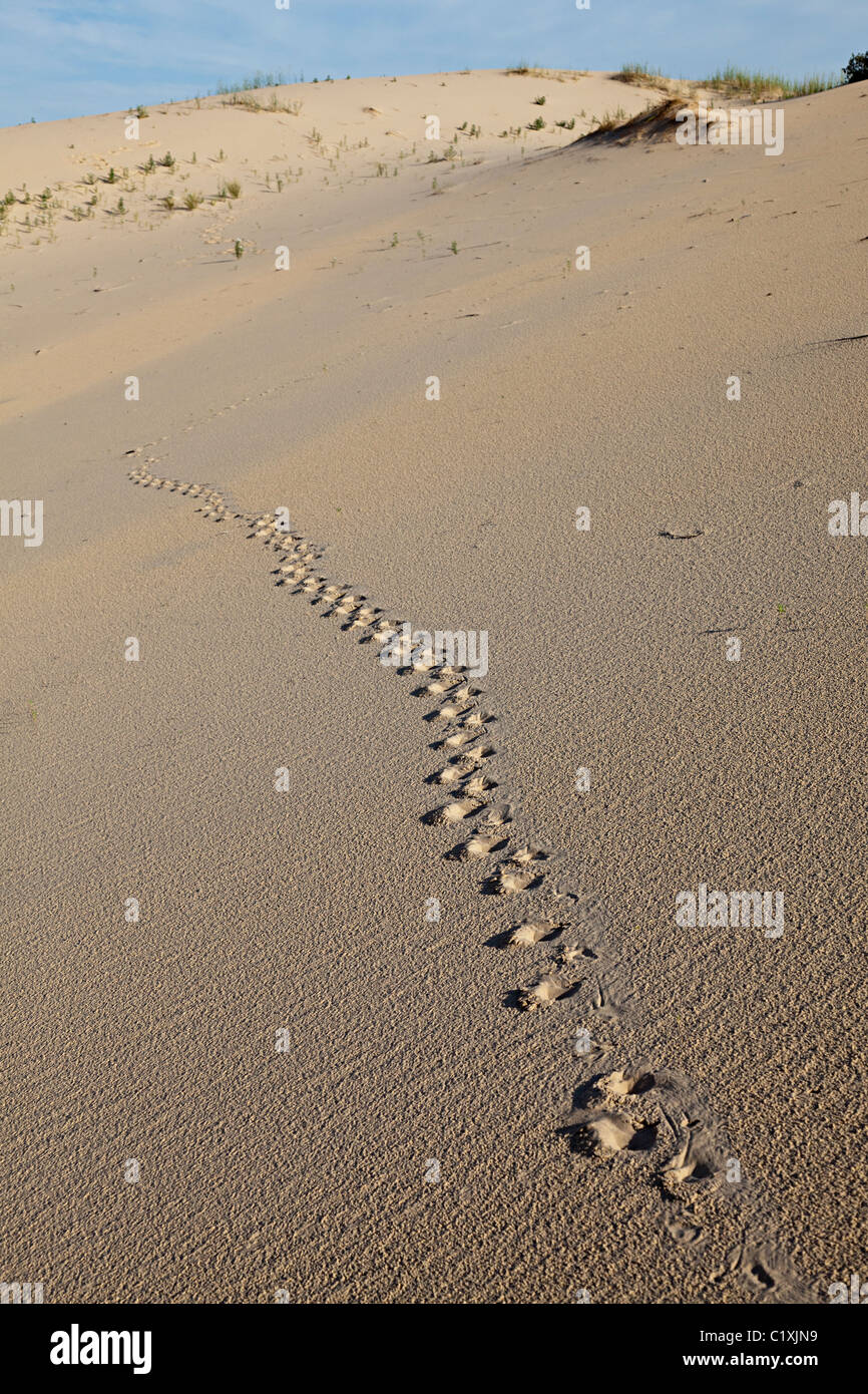 Animal tracks in sand dunes Monahans Sand Hills State Park Texas USA - Stock Image
