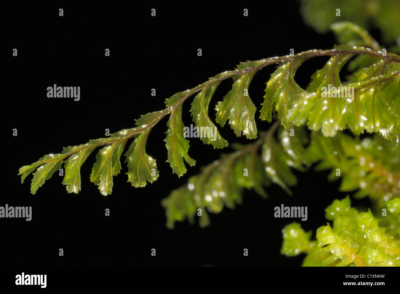 Wilson's Filmy-fern, hymenophyllum wilsonii - Stock Image