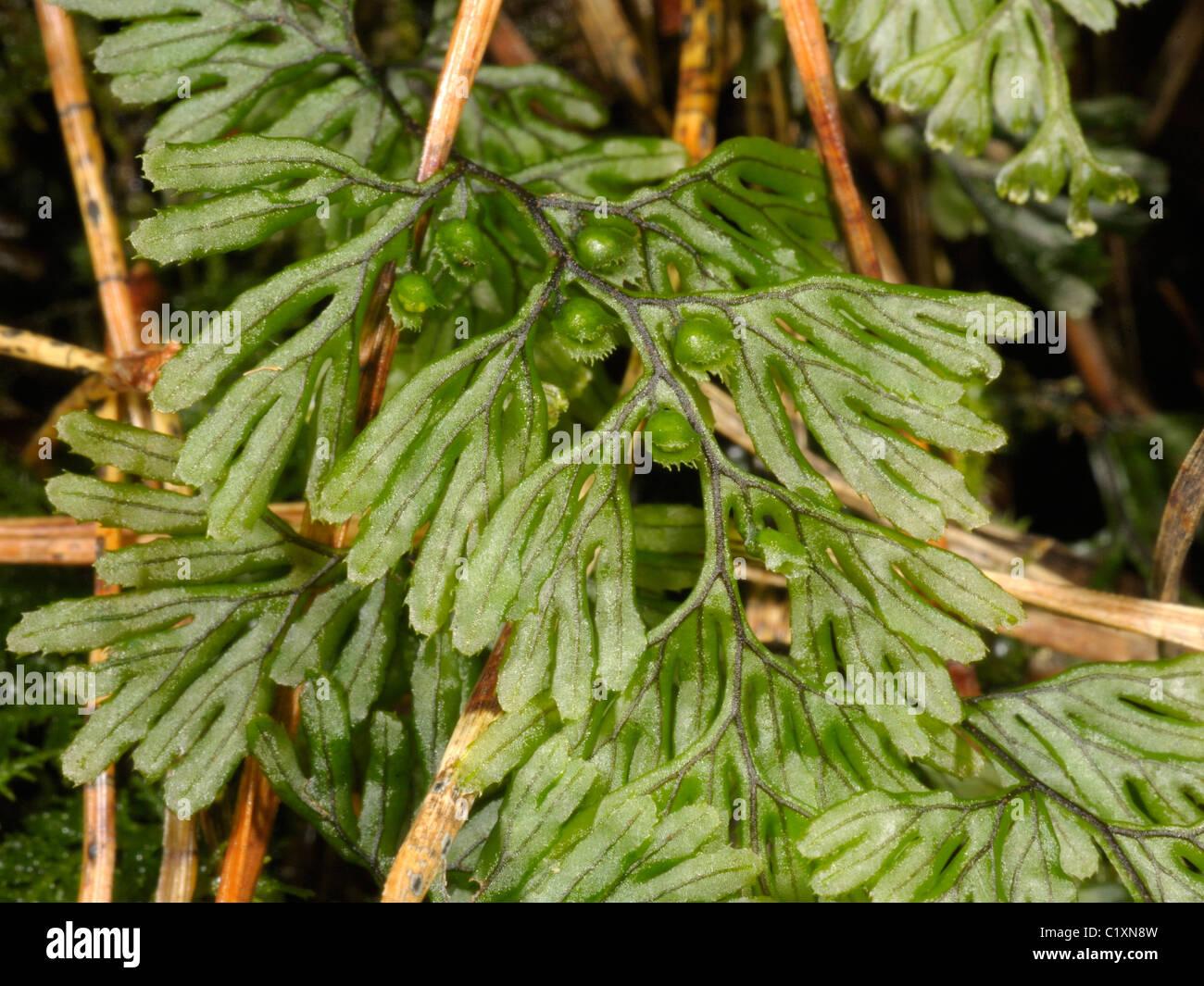 Tunbridge Filmy-fern, hymenophyllum tunbrigense - Stock Image