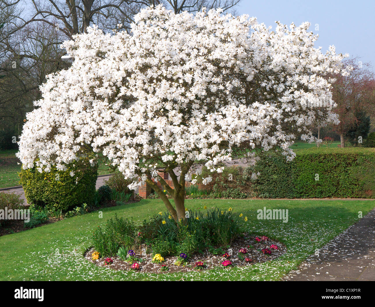 A Beautiful Blooming White Magnolia Tree In Spring Garden Stock