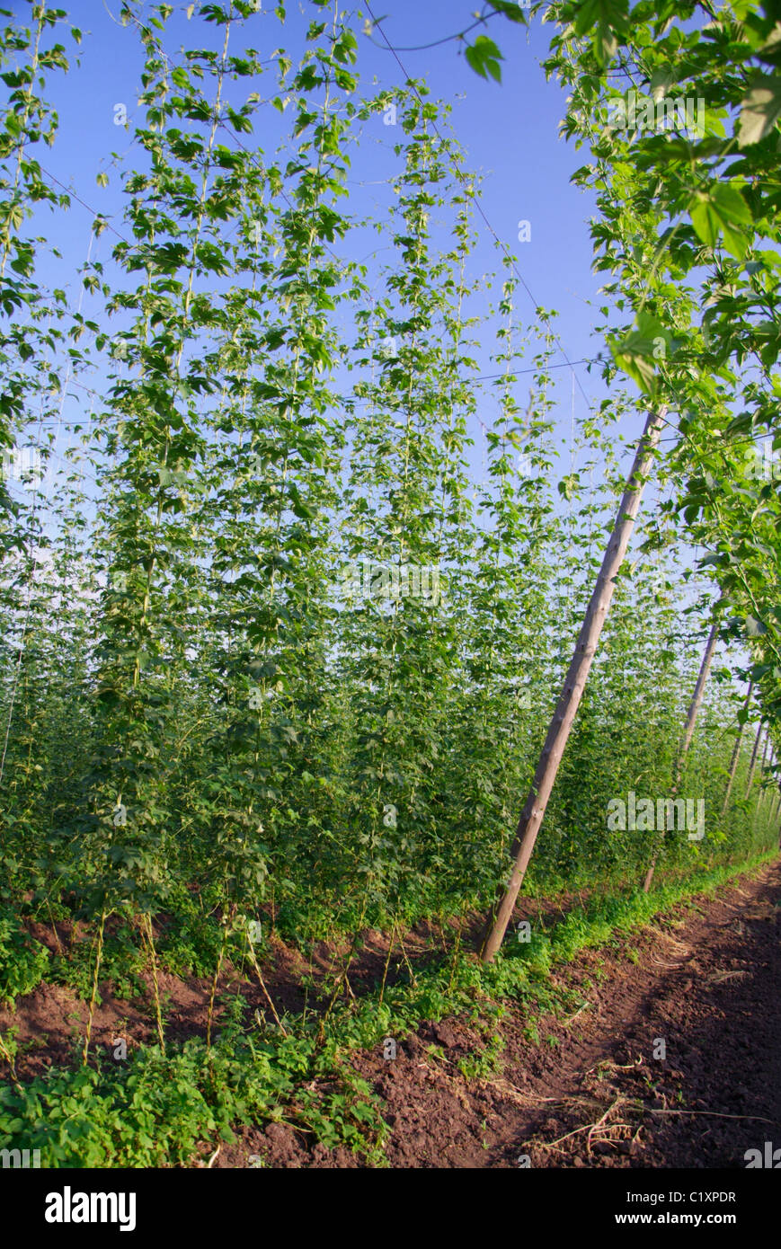 how to grow hops in pa