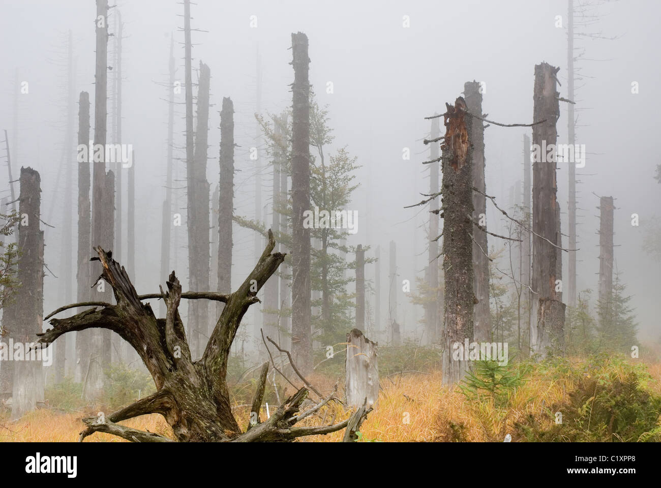 Norway Spruce Picea abies forest and infestation of Spruce Bark Beetle Bavarian Forest National Park Germany Stock Photo