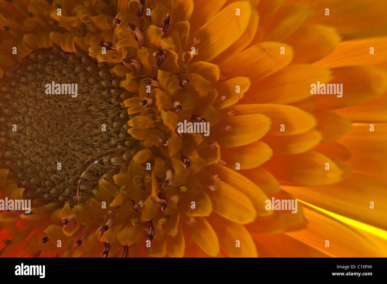 Macro Waterdrop Flower Gerber Daisy - Stock Image