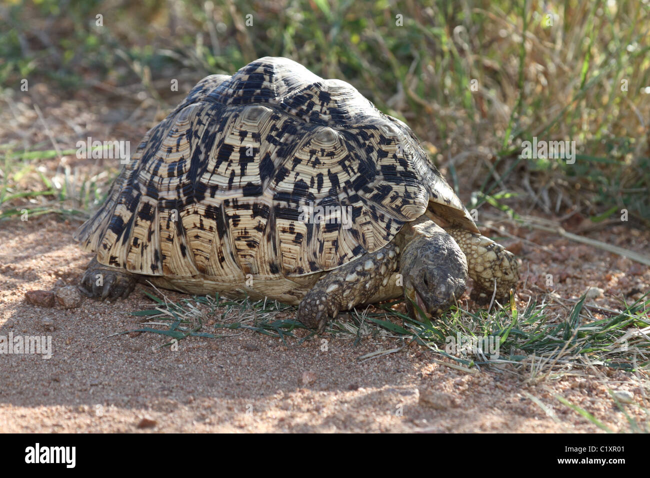 African spur tortoise eating - Stock Image