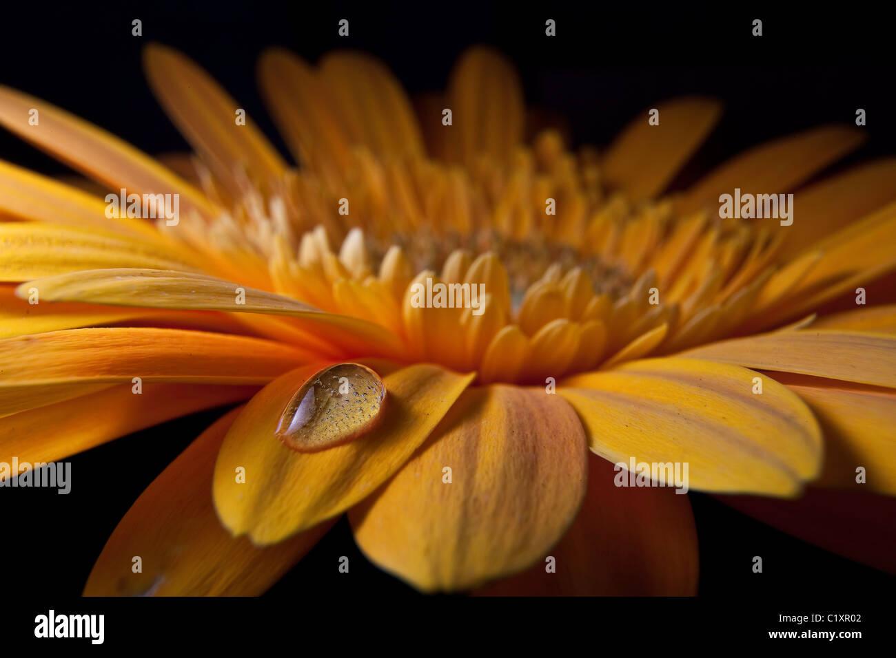 Waterdrop on Gerber Daisy Macro - Stock Image