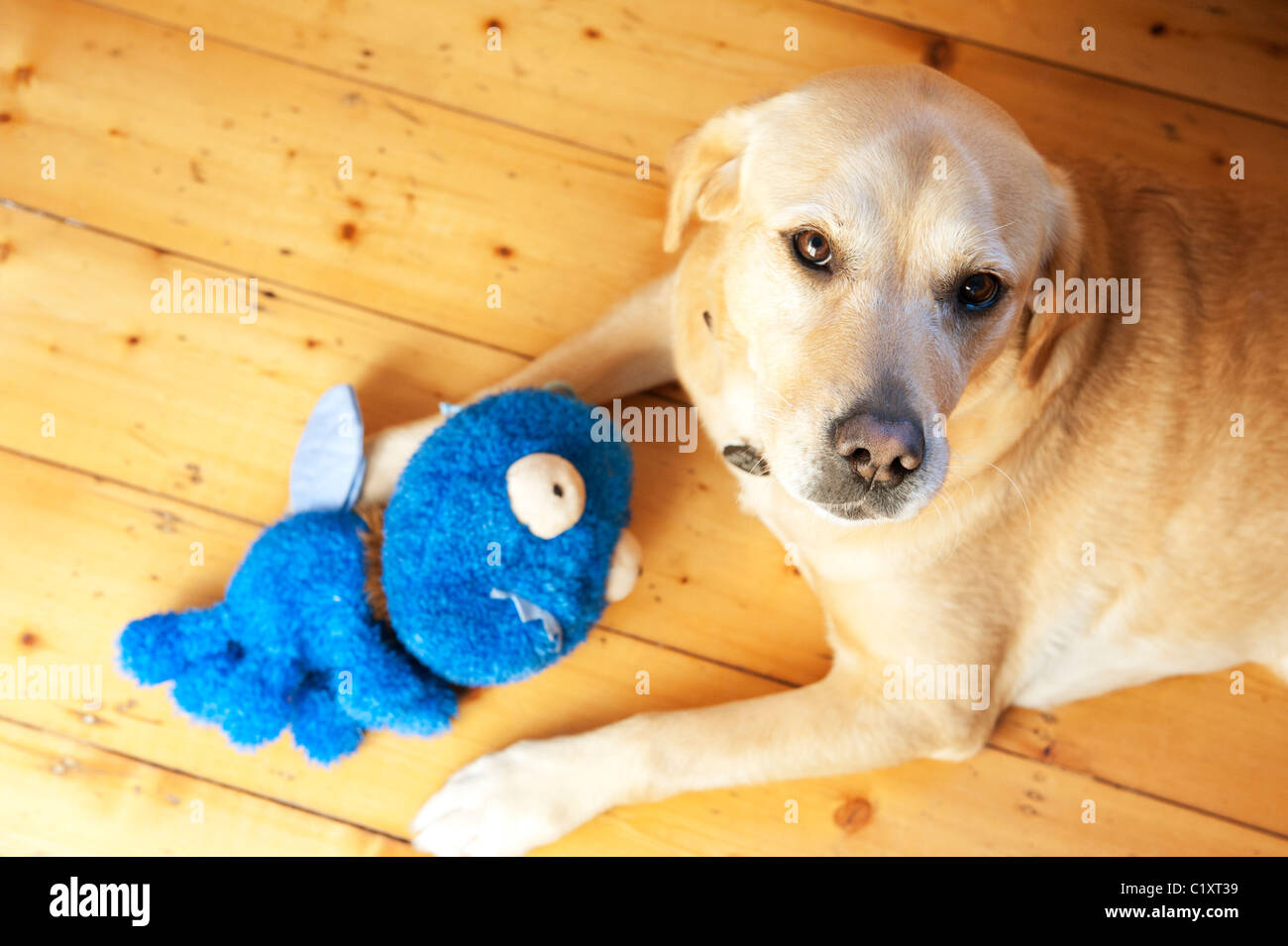 Labrador dog with soft toy at home indoors - Stock Image