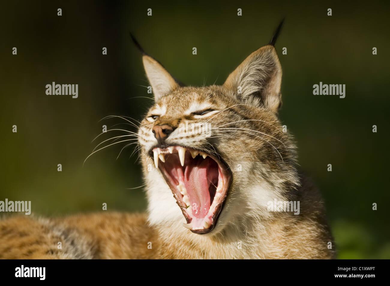 European lynx - Stock Image