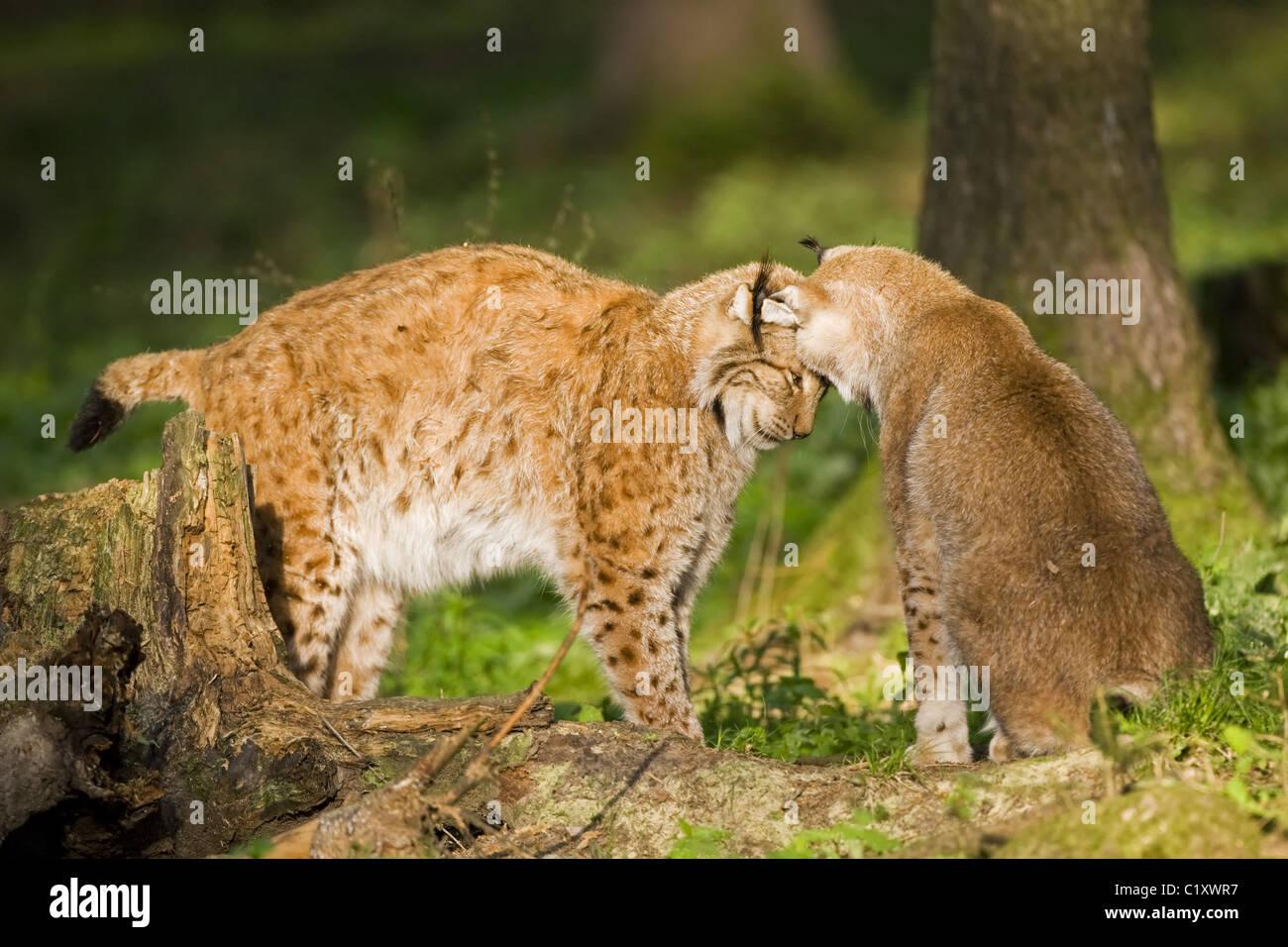 European lynx Stock Photo