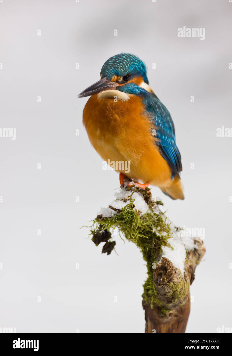 Kingfisher in winter - Stock Image