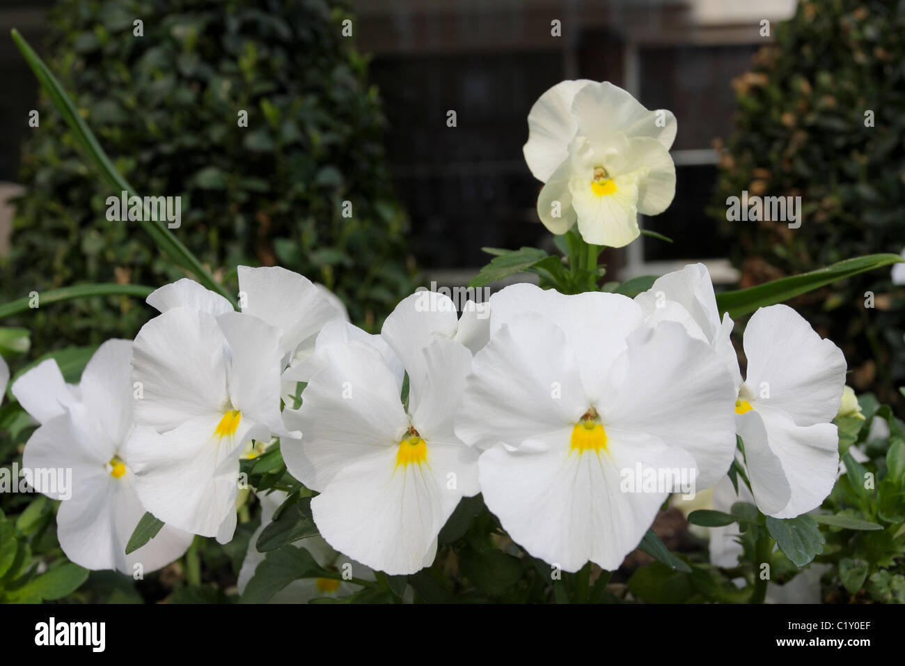 White Pansies viola wittrockiana, viewed here in early spring sunshine in St Johns Wood north west London. - Stock Image