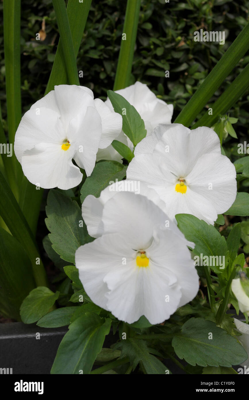 Delicate petals of the Pansy viola wittrockiana, viewed here in a cluster of four such flowers in St Johns Wood,London. - Stock Image