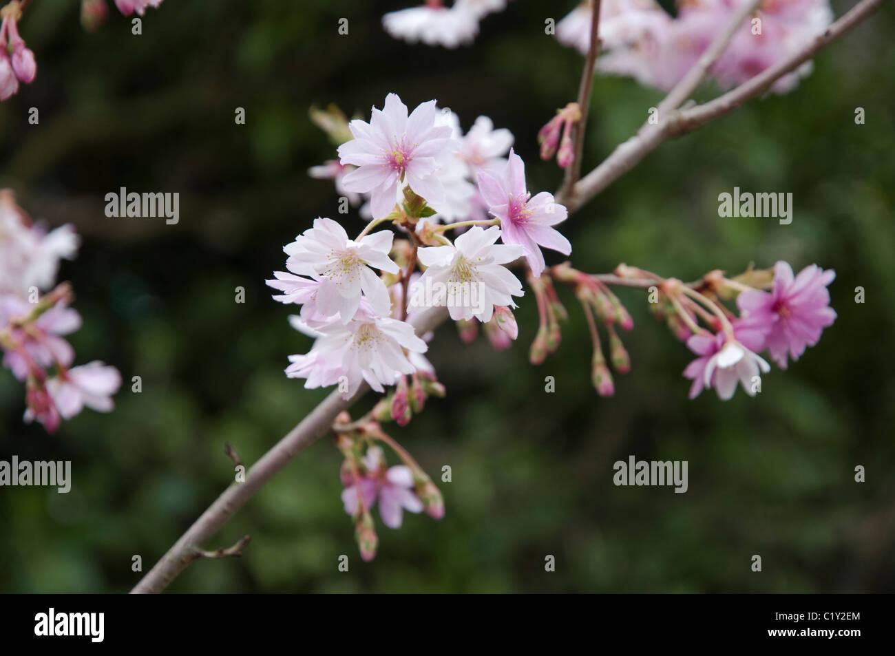 Prunus subhirtella Autumnalis - Pink in bud and tinged pink on opening - becoming white. The Winter Flowering Cherry. - Stock Image