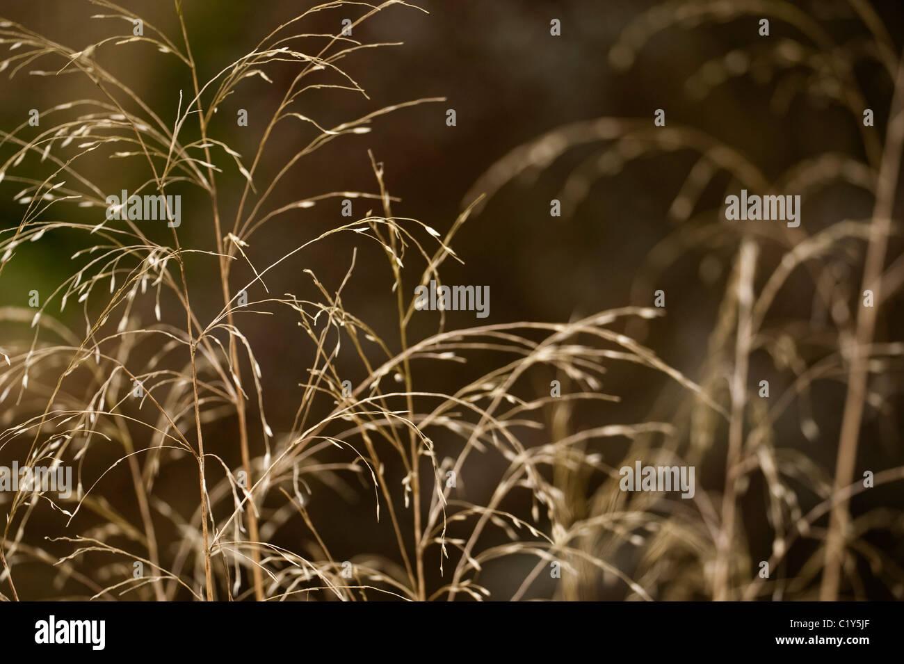 Chionochloa conspicua, Hunangemoho or Plumed Tussock Grass - Stock Image