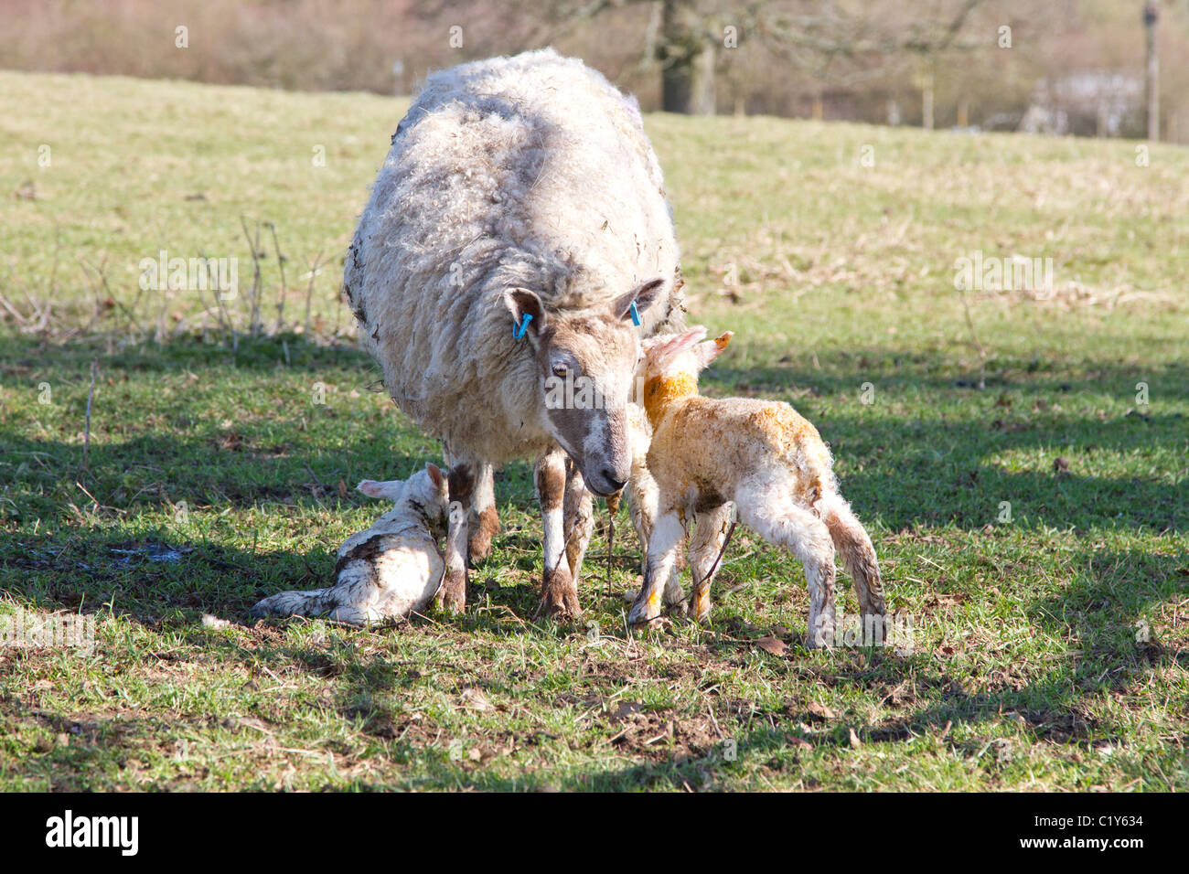 new born lambs with mother - Stock Image