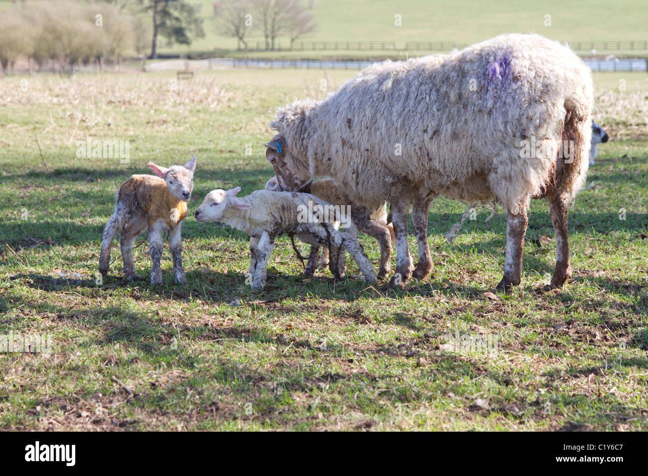 ewe with newborn lambs - Stock Image