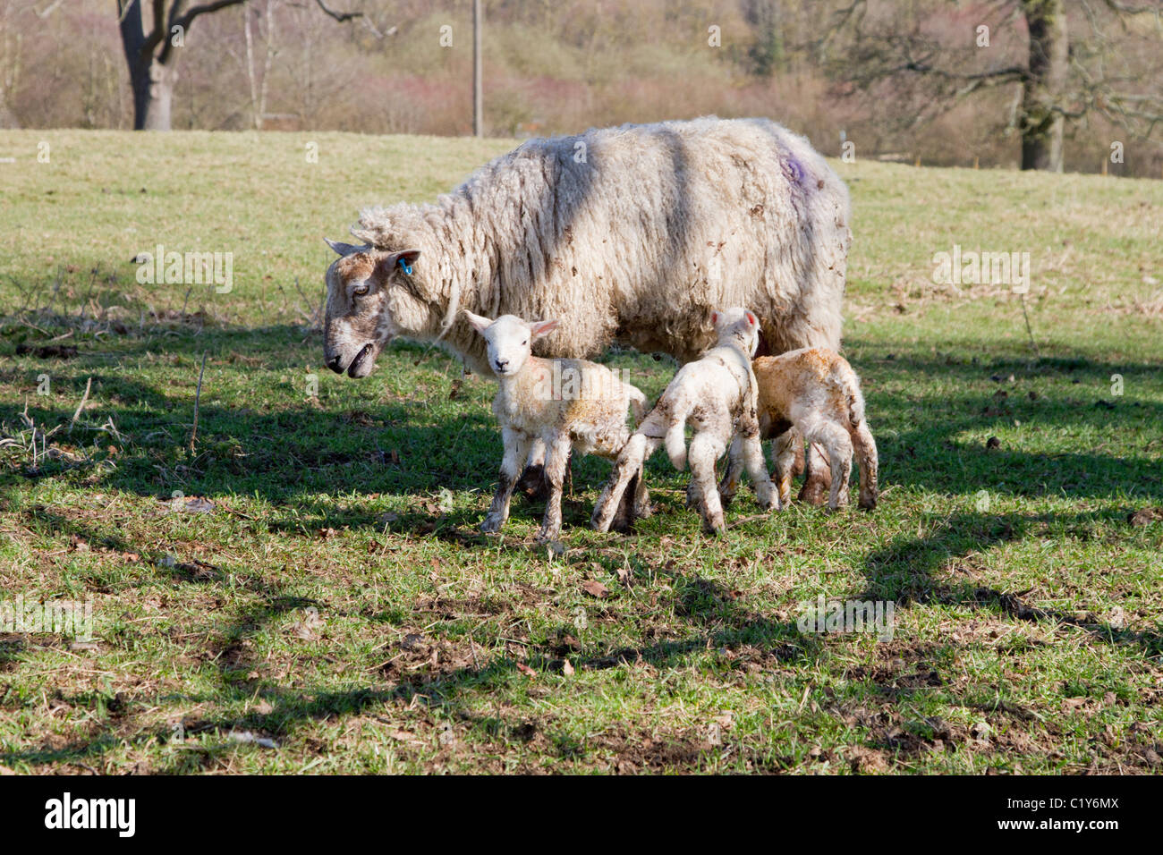 ewe with newborn triplets - Stock Image