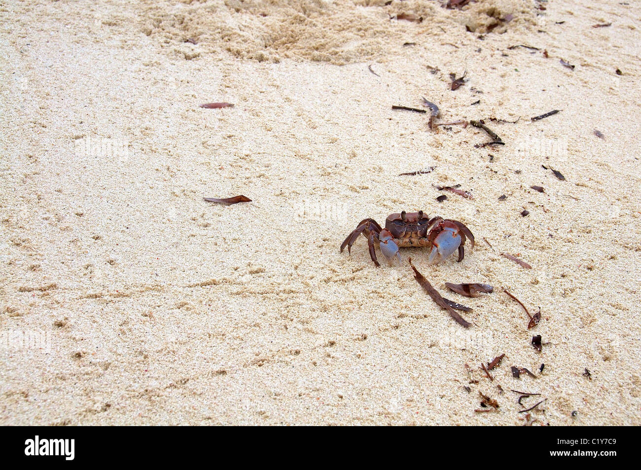 Ghost crab, horned ghost crab or horn-eyed ghost crab (Ocypode ceratophthalma) on clean beach sand, Denis island, Indian Ocean, Stock Photo