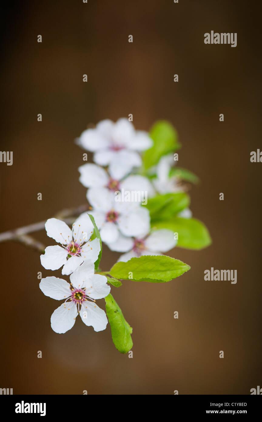 Prunus Cerasifera. Cherry plum. Cherry tree blossom - Stock Image