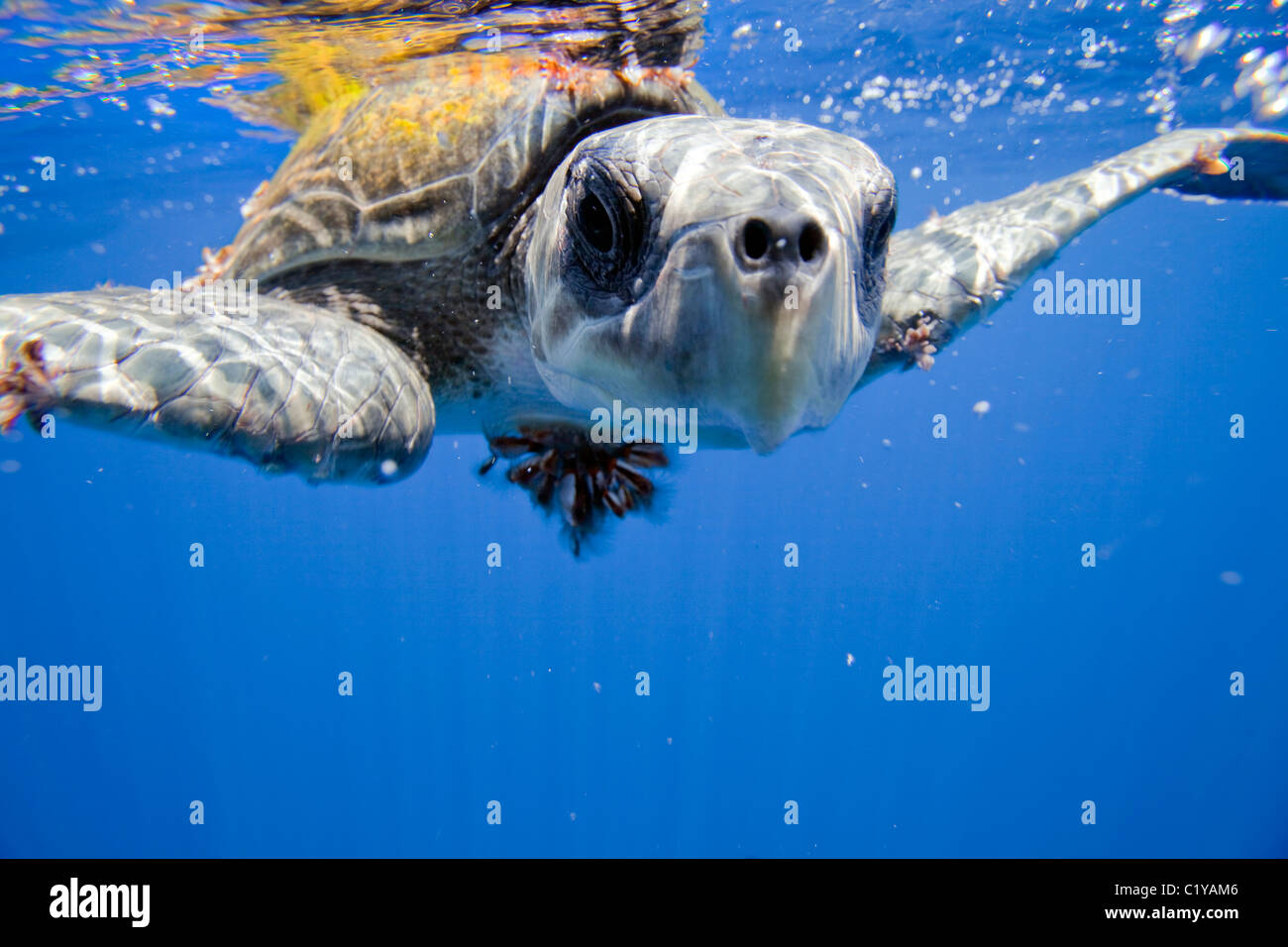 A closeup view of a rare Ridley Sea Turtle at the Cocos Island off the coast of Costa Rica. - Stock Image