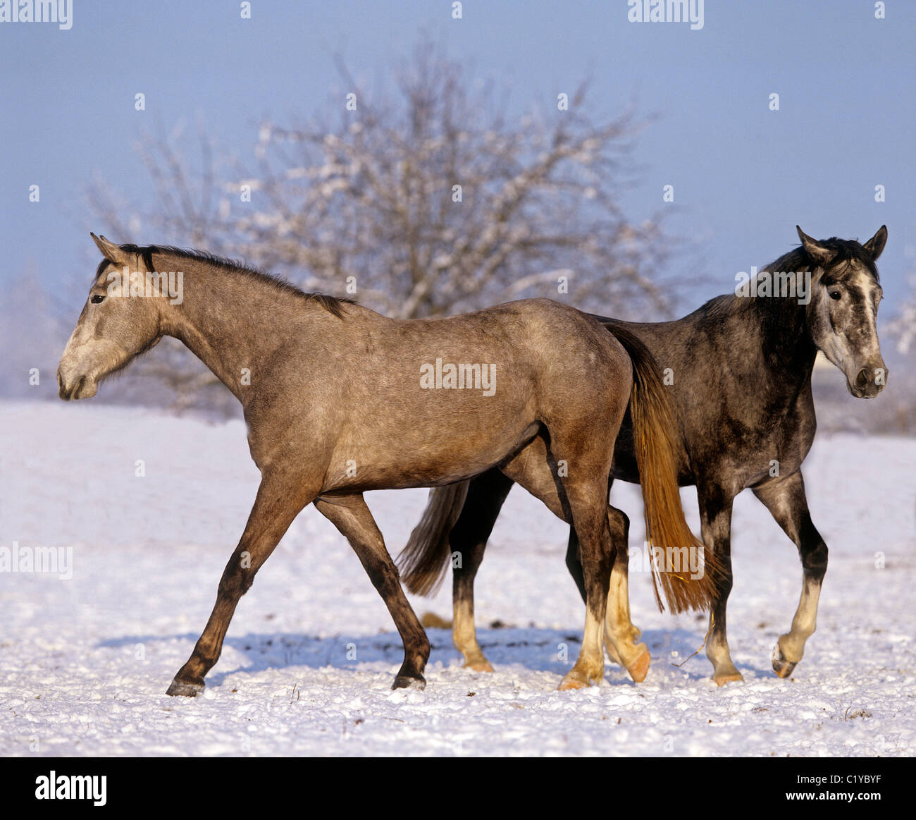 two Oldenburg horses in snow - Stock Image