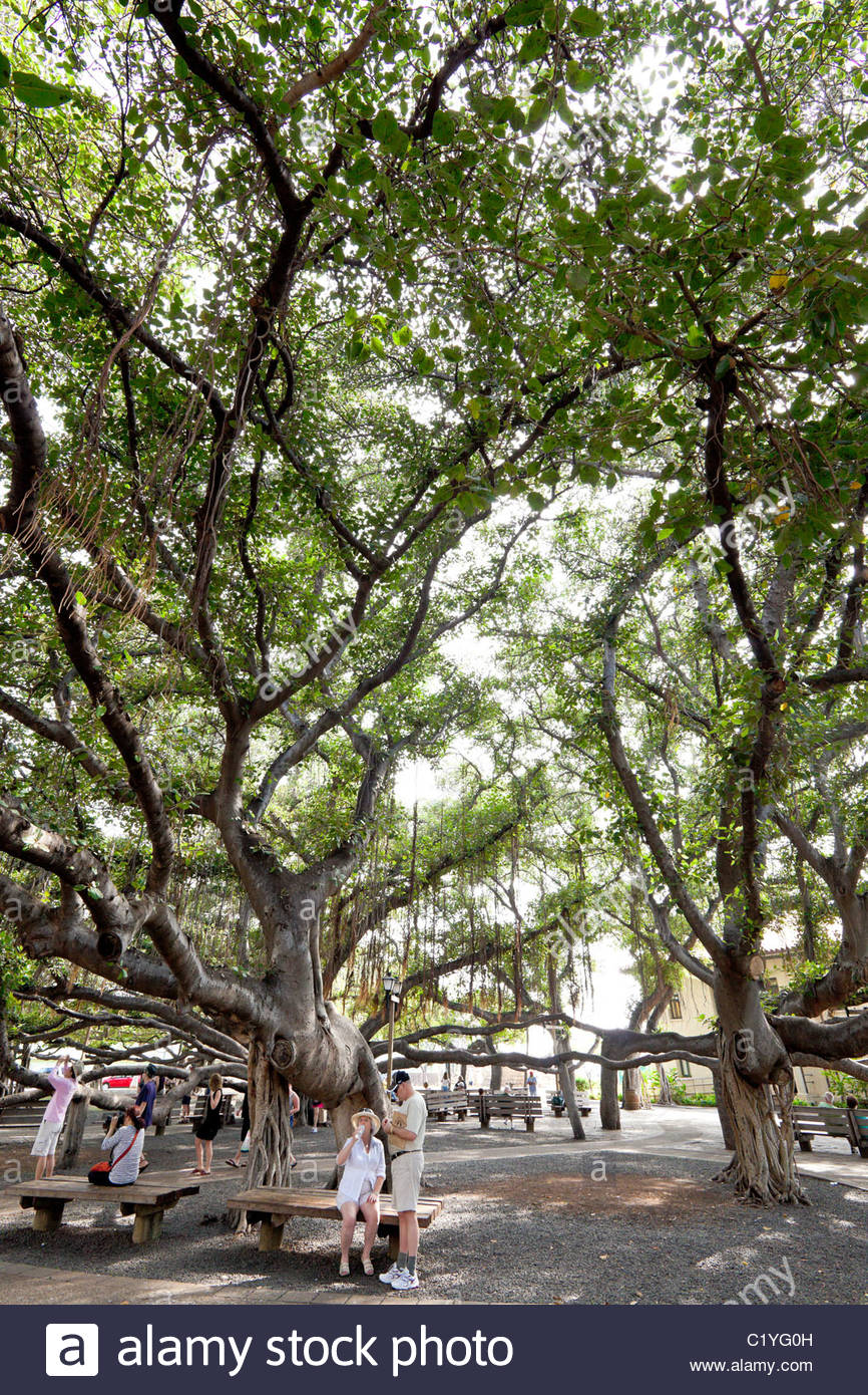 indian banyan tree stock photos indian banyan tree stock images