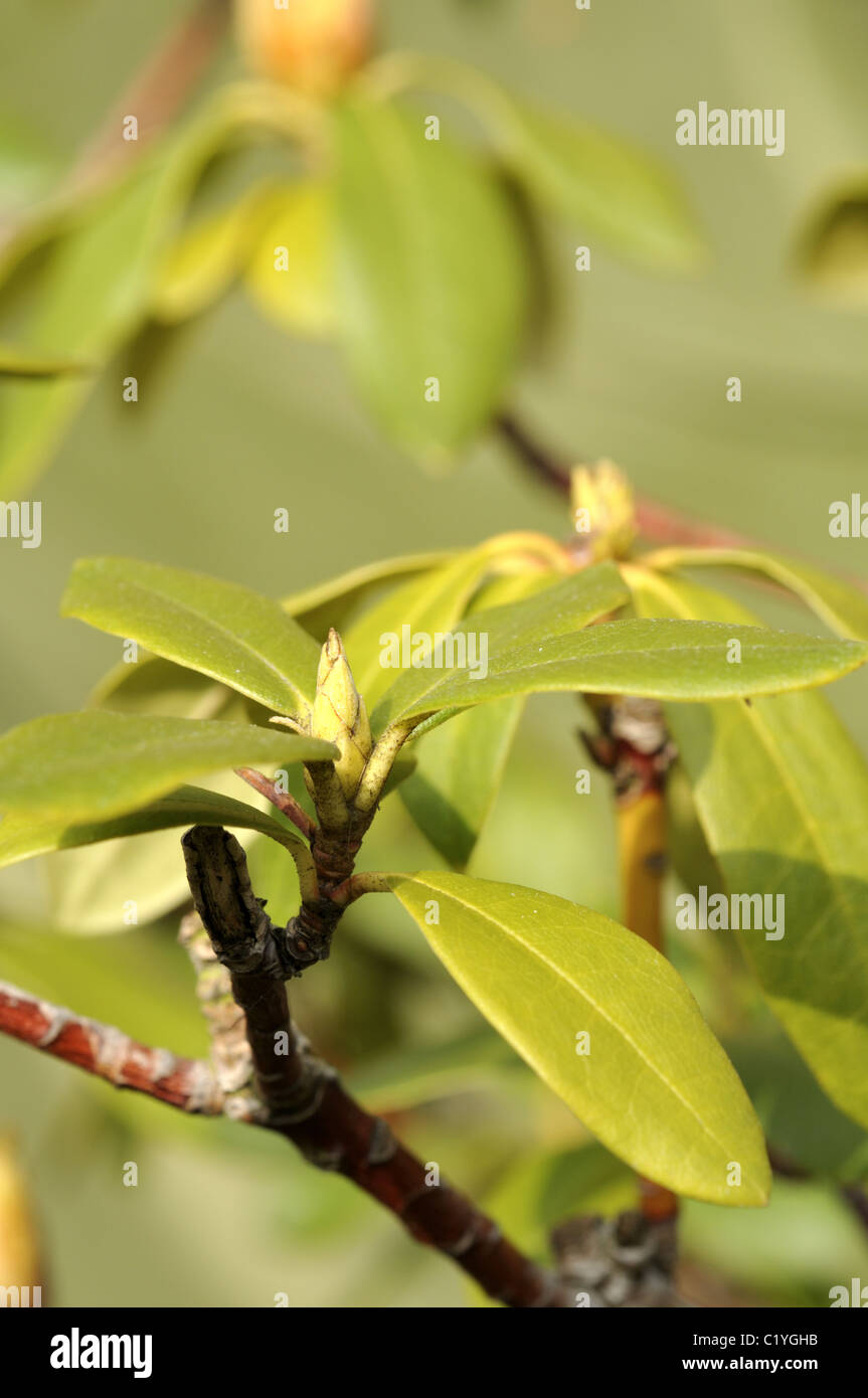 Young rhododendron spring flower buds stock photos young young rhododendron spring shoots and flower buds stock image mightylinksfo