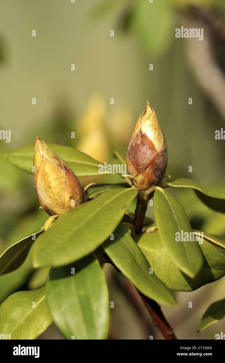 Young Rhododendron Spring Flower Buds Stock Photos Young