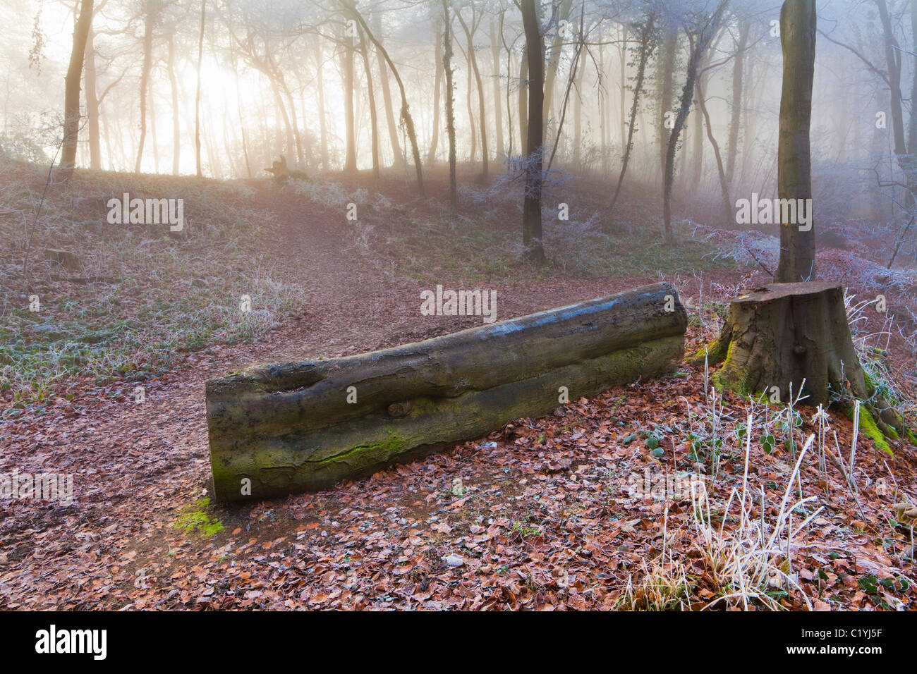 Hoar frost and mist in winter on a footpath in Maitlands Wood on Scottsquar Hill in the Cotswolds at Edge, Gloucestershire - Stock Image