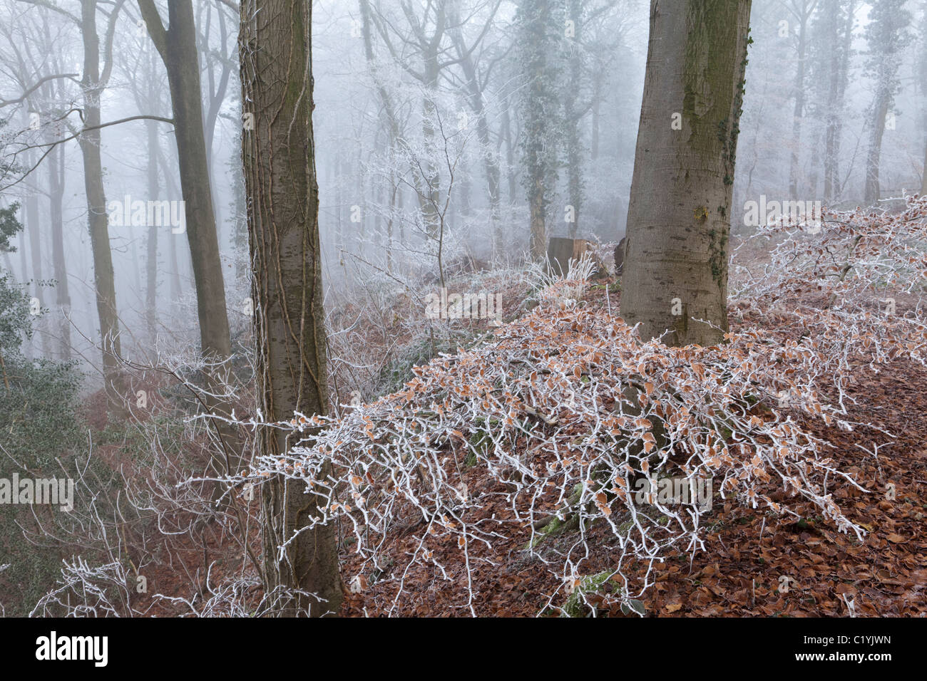 Hoar frost and mist in winter in Maitlands Wood on Scottsquar Hill in the Cotswolds at Edge, Gloucestershire, England, - Stock Image