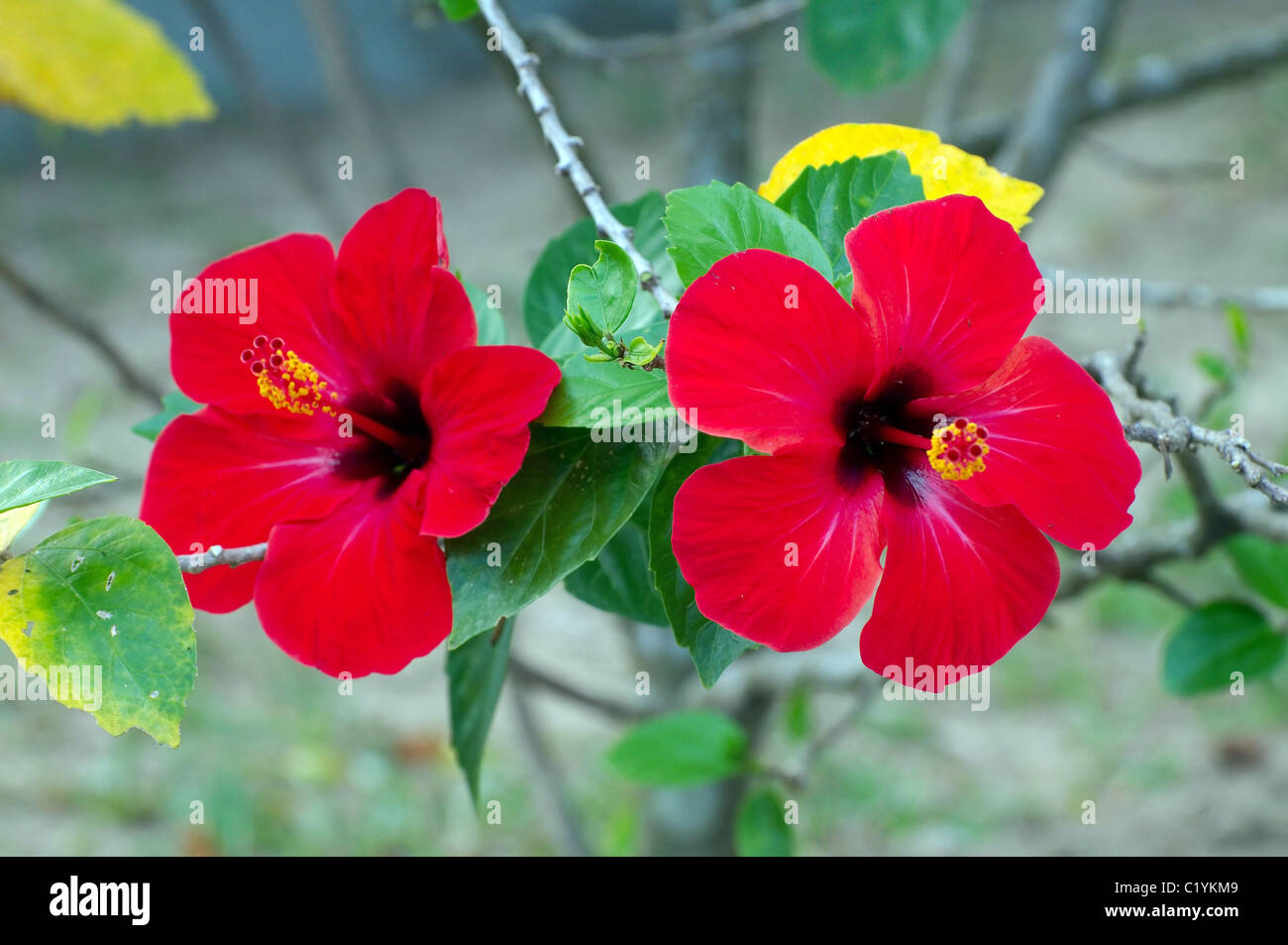 Hibiscus - - A national symbol of Malaysia - Stock Image