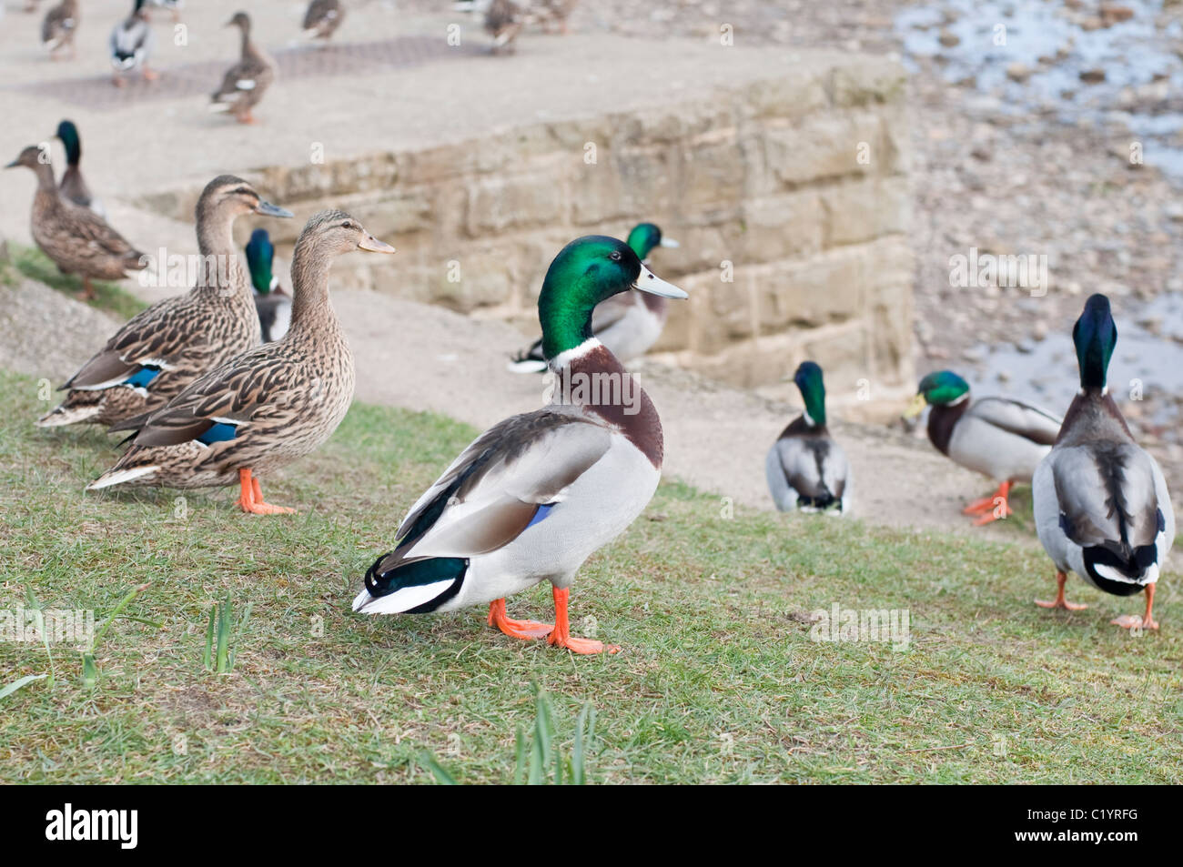 Male and female Mallard ducks in Sandsend, North Yorkshire, England. - Stock Image
