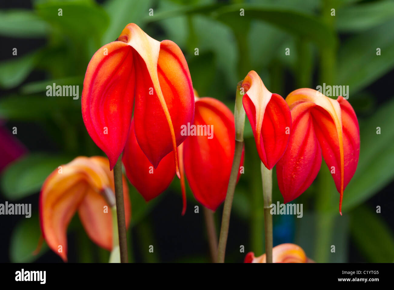 Exotic red orchids (Masdevallia ignea). - Stock Image
