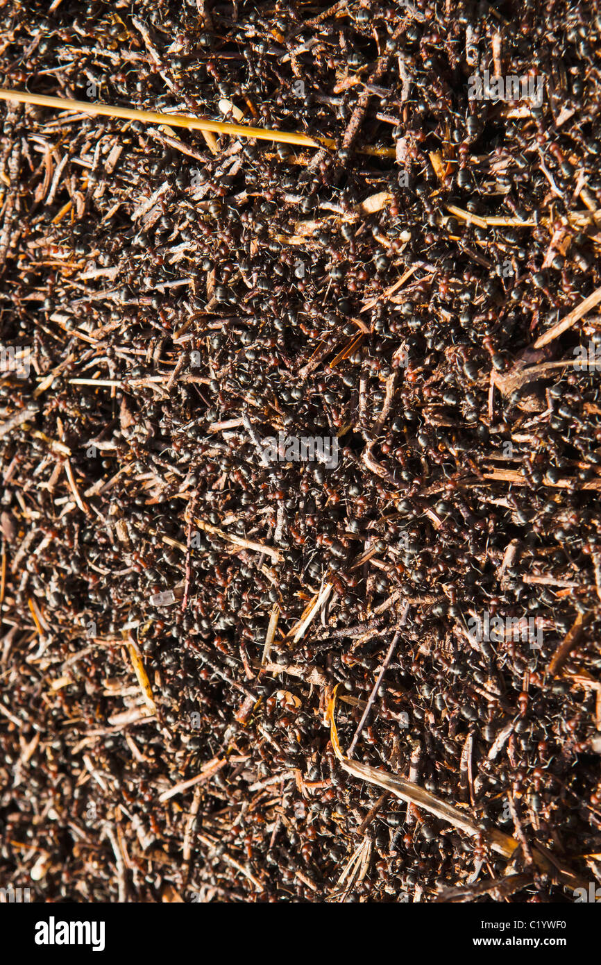 A colony of man eater ants. - Stock Image