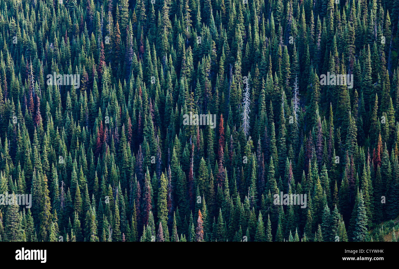 A evergreen conifer forest in the North Cascades range of Washington, USA. - Stock Image