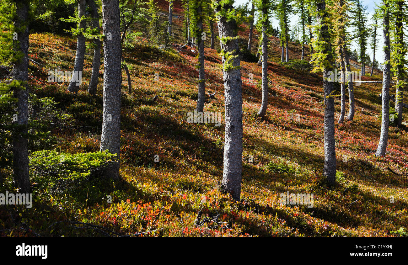 Larch trees on a colorful mountainside. North Cascades, Washington, USA. Stock Photo